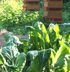 Associations au potager : les ruches